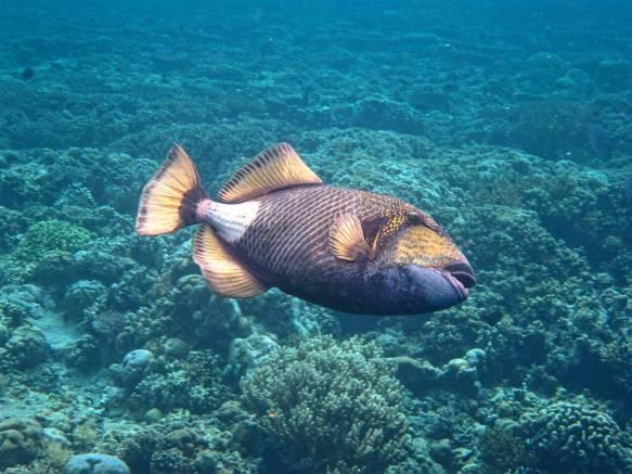 ohh im lazzy to swim :D (trigger fish)
