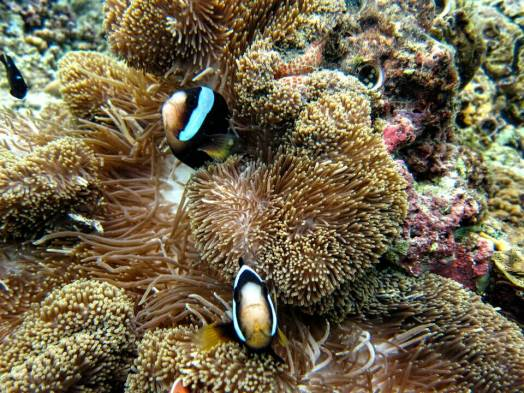 Clown Fish at Menjangan