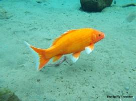 Ikan Mas di Umbul Ponggok