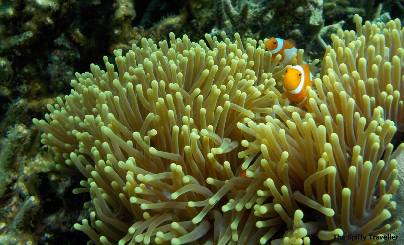 Nemo at Bomba Atoll Togean