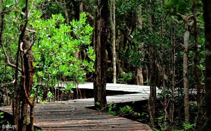 Hutan mangrove Karimunjawa