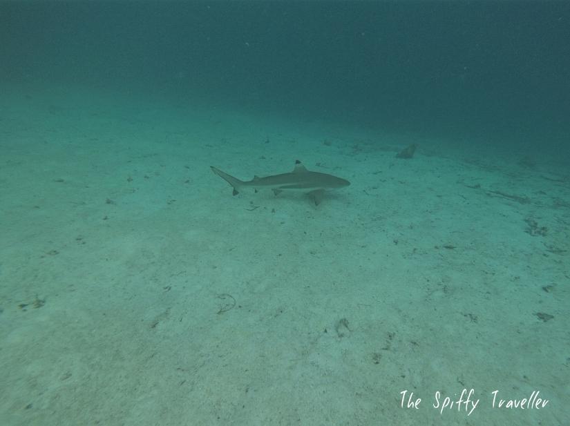 Wayag Shark