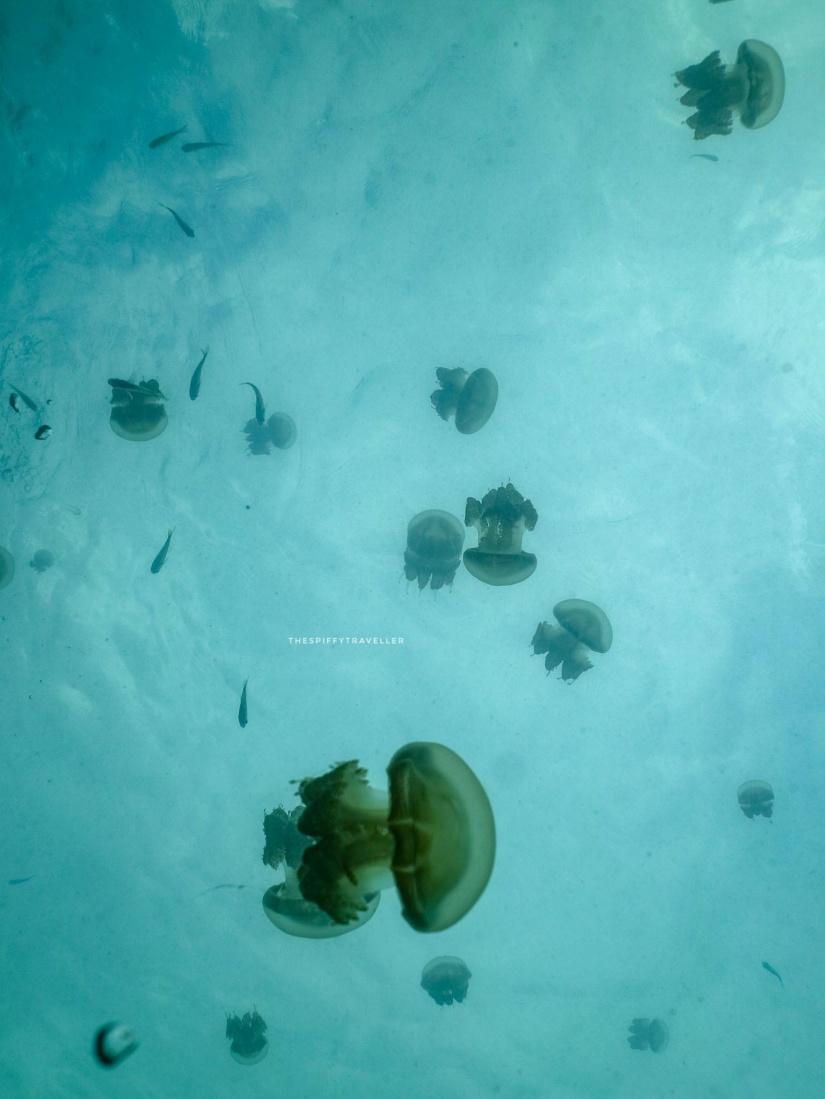 Ubur-ubur Danau Kakaban