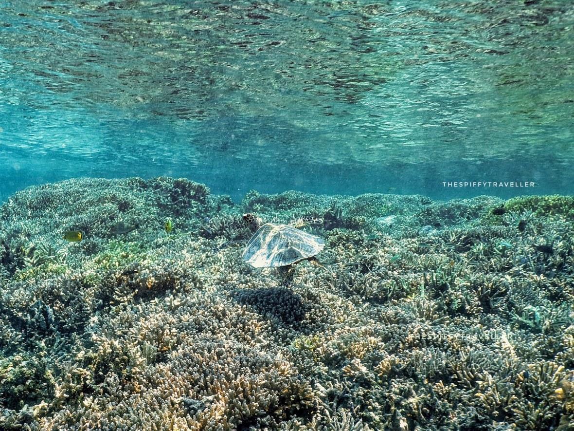 Penyu Sisik di Pulau Kakaban