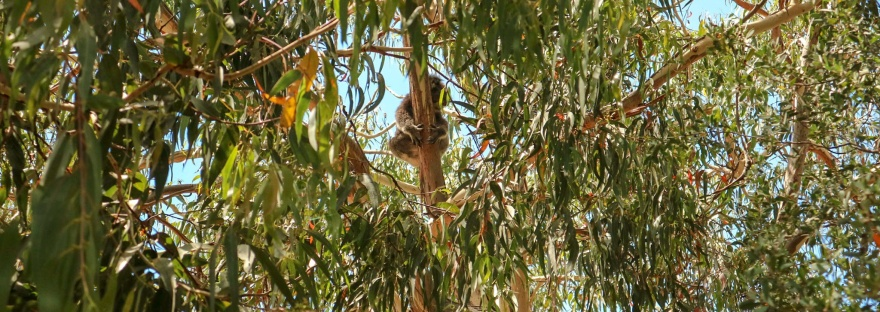 Koala at Kenneth River